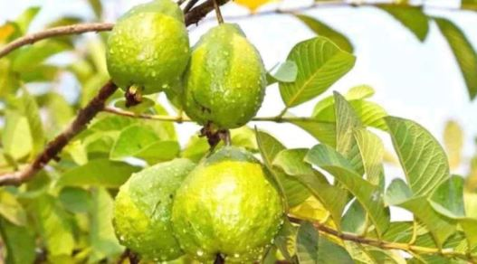 Home remedies for acne - guava leave